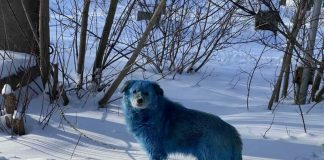 Синяя собака1