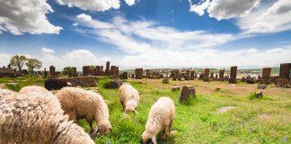 Овцы расчищают кладбище